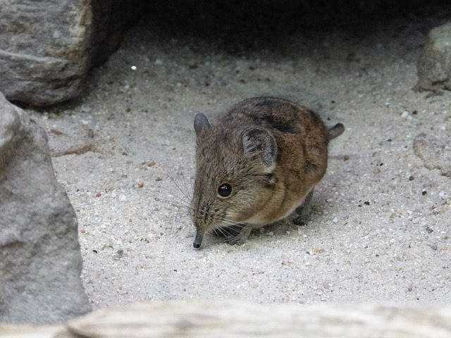 BREAKING SHREWS: Video shows rodents dancing. Fighting? Who knows!